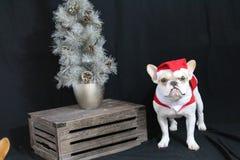 Buldogue francês Santa Fotos de Stock Royalty Free