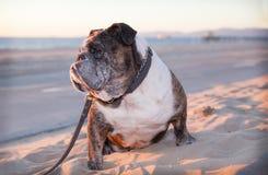 Buldogue idoso que senta-se no Sandy Beach Fotografia de Stock Royalty Free