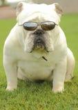 Buldogue inglês com óculos de sol Fotografia de Stock Royalty Free