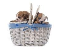 Buldogue inglês dos cachorrinhos na cesta Foto de Stock