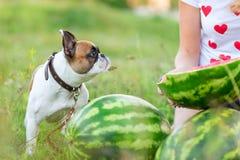 Buldogue inglês engraçado que corre em summerFunny no verão fotografia de stock