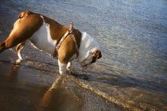 Buldogue inglês na praia Imagem de Stock