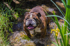 Buldogue na água Fotografia de Stock Royalty Free
