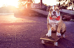Buldogue pequeno no skate imagens de stock