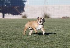 Buldogue que corre após um brinquedo com sua língua para fora Imagens de Stock