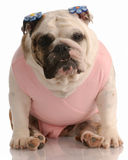 Buldogue que desgasta o tutu cor-de-rosa fotografia de stock
