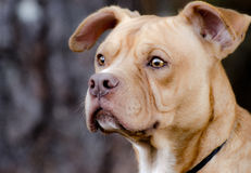 Buldogue Shar Pei Mixed Breed Adoption Portrait fotos de stock royalty free