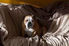 Buldogue sonolento Fotografia de Stock