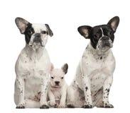 Buldogues franceses com o filhote de cachorro, 4 semanas velho, sentando-se Imagem de Stock Royalty Free