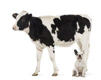 Buldogues franceses que sentam-se sob uma vitela, 8 meses velha Fotografia de Stock Royalty Free