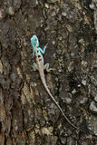 Bule chameleon on tree Royalty Free Stock Image