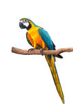 Bule gold yellow macaw isolated on white background with clipping path. Stock Photo