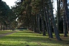Bulevar de pinos en invierno con la tierra de la hierba imagenes de archivo