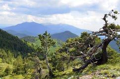Bulgaarse Zwarte Pinus van de Pijnboomboom heldreichii stock foto
