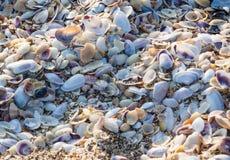 Bulgaria. Black Sea. Shells Royalty Free Stock Image