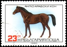 BULGARIA - CIRCA 1980: a stamp, printed in Bulgaria, shows a Anglo-Arabian horse Stock Image