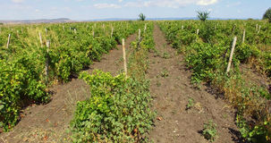 Bulgarian vineyard in Pomorie. Bulgaria - occupies a leading position among the Balkan countries on the cultivation of grapes and sunflowers, the production of royalty free stock photo