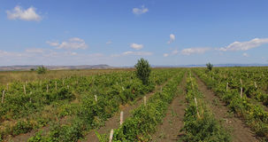Bulgarian vineyard before harvesting. Bulgaria - occupies a leading position among the Balkan countries on the cultivation of grapes and sunflowers, the stock photography