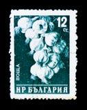Bulgaria postage stamp shows bunch of garlic Allium sativum, circa 1958. MOSCOW, RUSSIA - JUNE 26, 2017: A stamp printed in Bulgaria shows bunch of garlic Allium Stock Photos