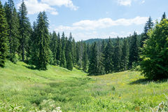 Bulgaria. Summer. Rhodope mountains and coniferous forest Royalty Free Stock Photography
