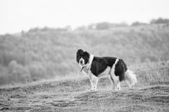 Bulgarian black and white sheep dog Stock Images