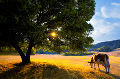 Bulgarian cow landscape Stock Images
