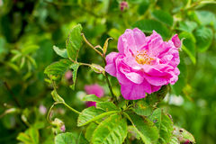 Free Bulgarian Damascena Rose Royalty Free Stock Photo - 90578265