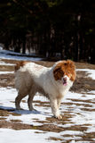 Bulgarian dog in winter Royalty Free Stock Images