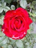 Bulgarian flower Royalty Free Stock Photo