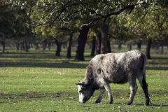 Bulgarian gray cattle stock images