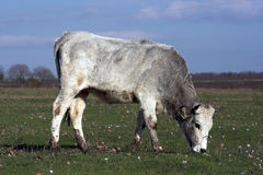 Bulgarian gray cattle royalty free stock image