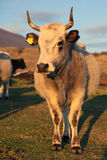 Bulgarian gray cattle. In Stara Planina mountain royalty free stock images