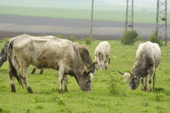 Bulgarian gray cattle Royalty Free Stock Photos
