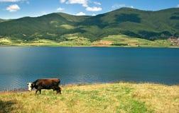 Bulgarian Milka cow. Cow wandering near the lake Royalty Free Stock Image