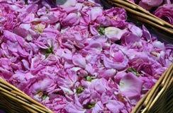 Bulgarian oil rose in Bulgaria Stock Photography