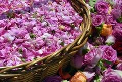 Bulgarian oil rose in Bulgaria Stock Photo