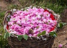 Bulgarian pink rose Royalty Free Stock Photos
