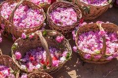 Bulgarian pink rose Royalty Free Stock Image