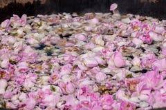 Bulgarian pink rose Stock Image