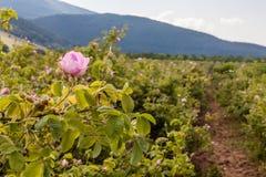 Bulgarian pink rose Royalty Free Stock Images