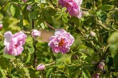 Bulgarian pink rose Stock Photography