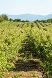 Bulgarian pink rose Royalty Free Stock Photo