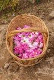Bulgarian pink roses Stock Images