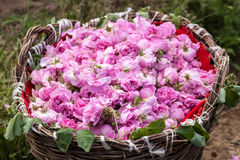 Bulgarian pink roses Royalty Free Stock Photography