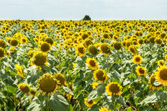 Bulgarian ripened sunflowers, autumn stock image