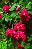 Bulgarian rose bush. Bulgarian national symbol pink rose concept - vertical view Royalty Free Stock Photo