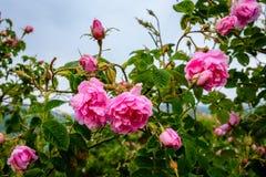 Bulgarian rose field near Karlovo. Close up of a Bulgarian rose Rosa Damascena near Karlovo Stock Image