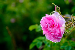 Bulgarian rose field near Karlovo. Close up of a Bulgarian rose Rosa Damascena near Karlovo Stock Photo