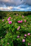 Bulgarian rose field near Karlovo Stock Image