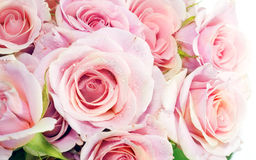 Bulgarian Roses. That is a photography with some effects of bulgarian roses in karlovo ot kazanlak Royalty Free Stock Image